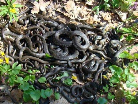 Թոշակառու կինն  իր հողամասում 80  հատ օձ է սպանել. տեսանյութ