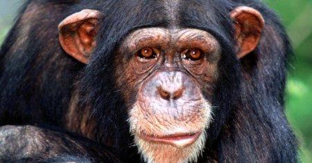 Էգ շիմպանզեին հղիացրել են մարդու սերմնահեղուկով