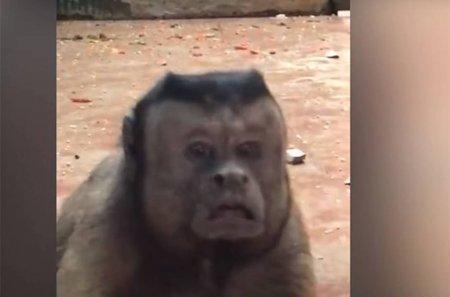Չինաստանում մարդու դեմքով կապիկ են գտել (Տեսանյութ)