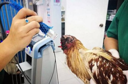 Հավի ճուտը մնացել է անգլուխ ու չի սատկել