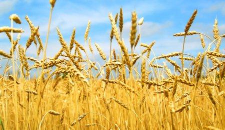 «Ժողովուրդ».Հայաստանում ցորենի բերքատվությունը նվազում է.պետք է լրջորեն մտածել պարենի ինքնաբավության մասին