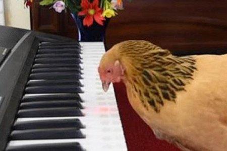 Տաղանդավոր հավը դաշնամուր է նվագել և նվաճել համացանցը. տեսանյութ
