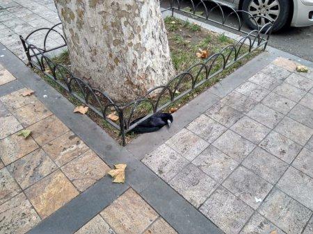 Ագռավների զանգվածային անկում Երևանում. իրավիճակը մտահոգիչ է