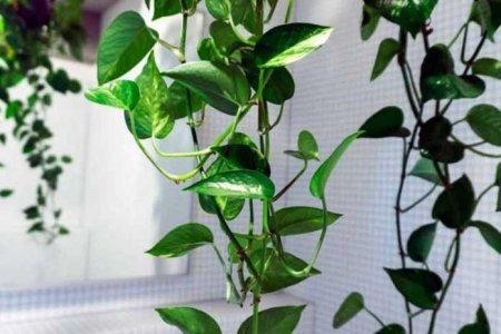 Գիտնականները օդը քաղցկեղածին նյութերից մաքրող սենյակային բույս են ստացել